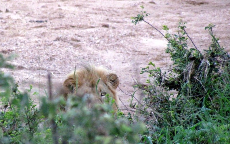 lion-on-walk-960x600_c