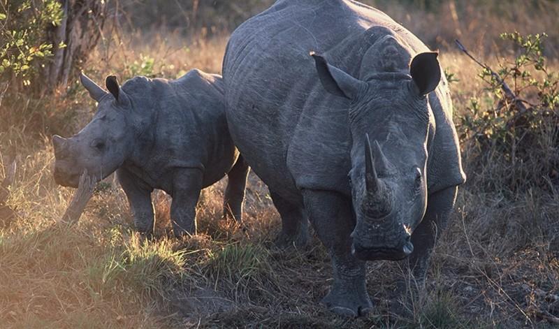 dulini-wildlife-rhino