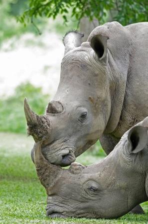 Rhinos-by-Gaetan