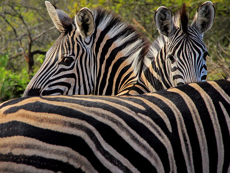 thula-thula-safari-lodge-zebras-three-2