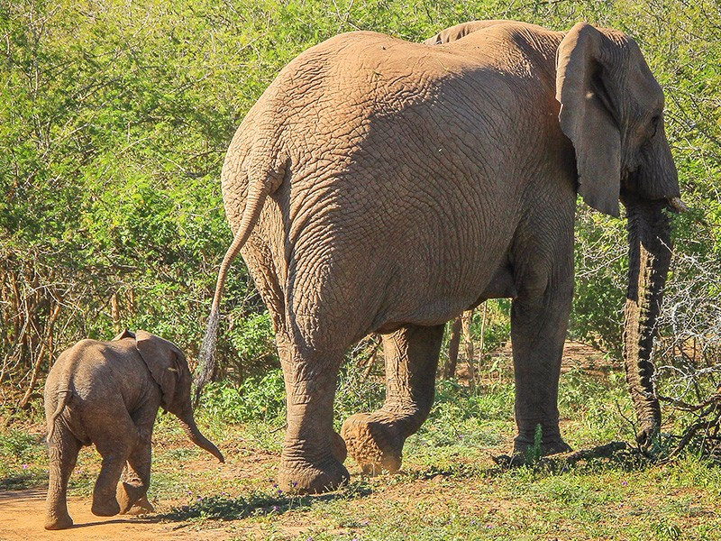 thula-thula-safari-medium-baby-ele