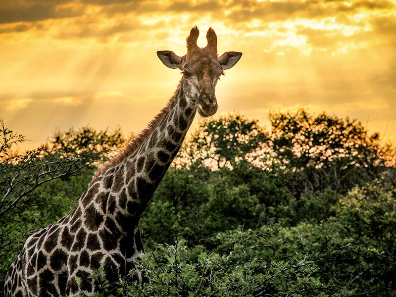 thula-thula-safari-medium-giraffe-sunset