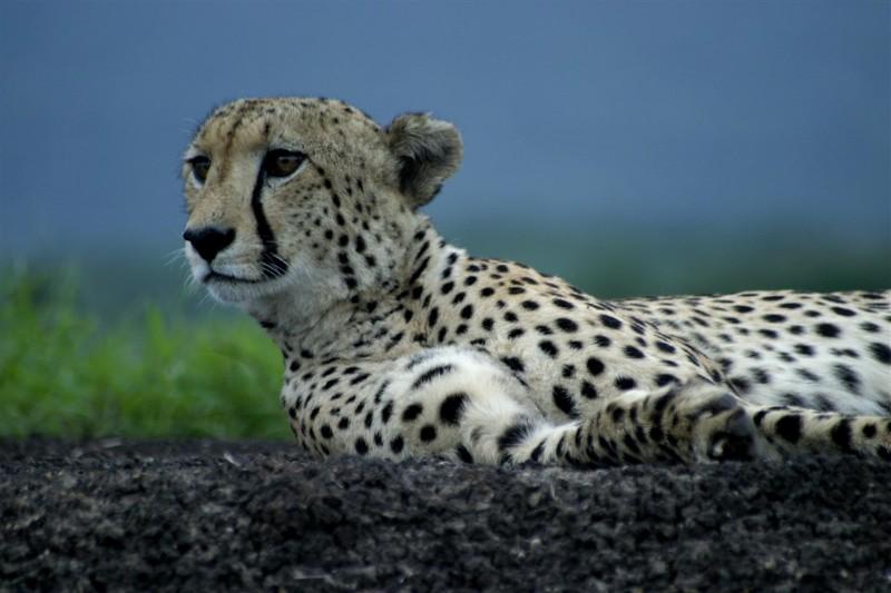 cheetah010