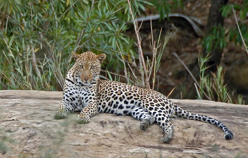 mkuze_leopard