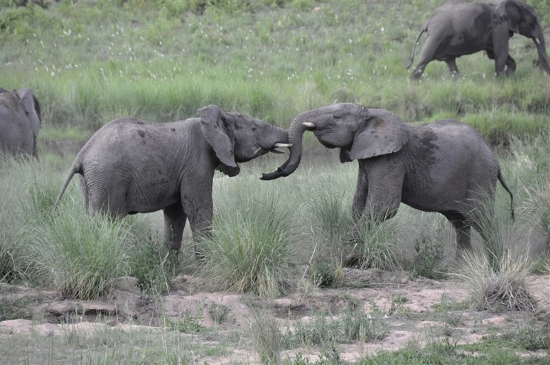 mhondoro-big-5-elephants-playing