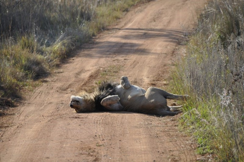 mhondoro-big-5-lazy-male-lion-lying-in-the-road