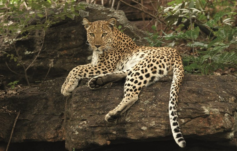 mhondoro-big-5-leopard-on-a-rock-in-the-shade