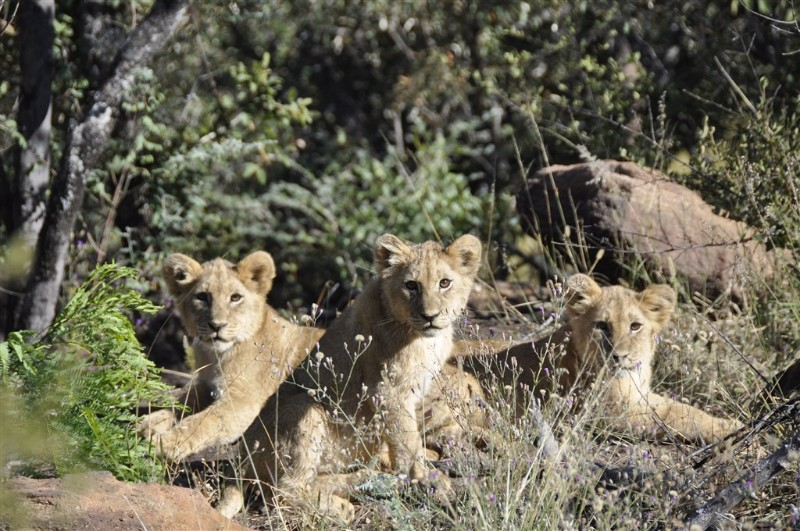 mhondoro-big-5-lion-cubs