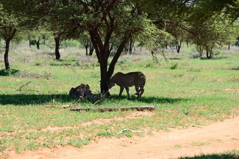mhondoro-game-lodge-wildlife-cheetah