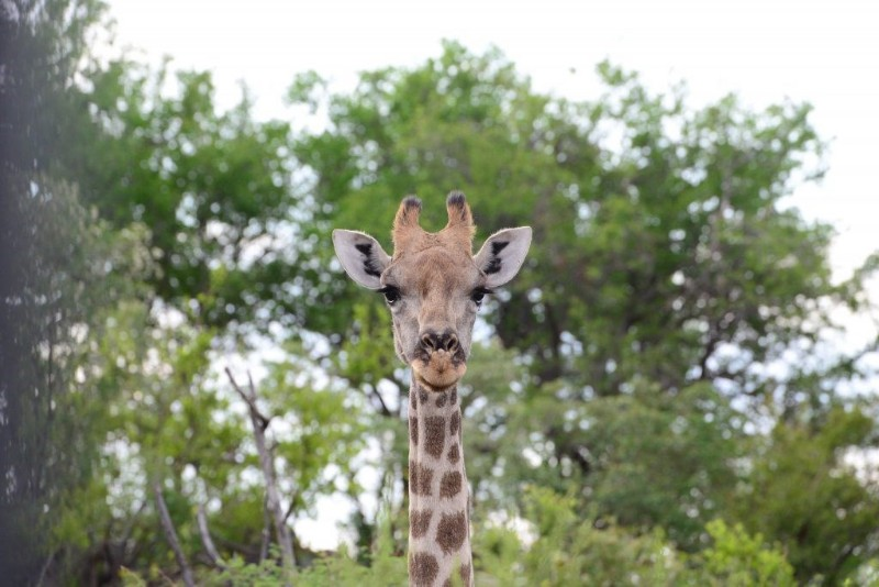mhondoro-game-lodge-wildlife-giraffe