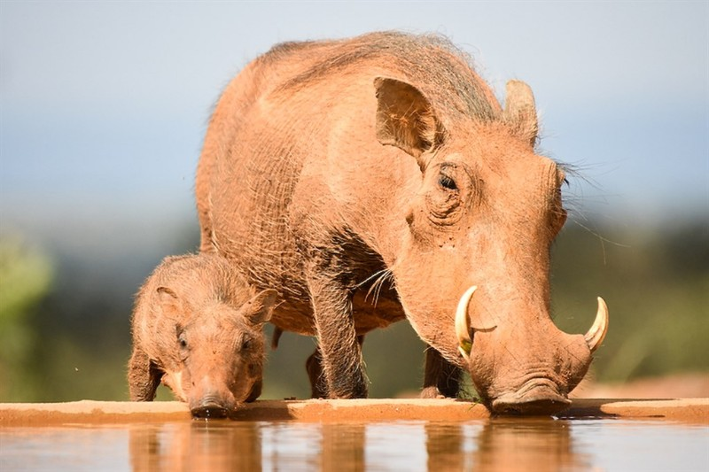 mhondoro-game-lodge-wildlife-warthog-with-baby
