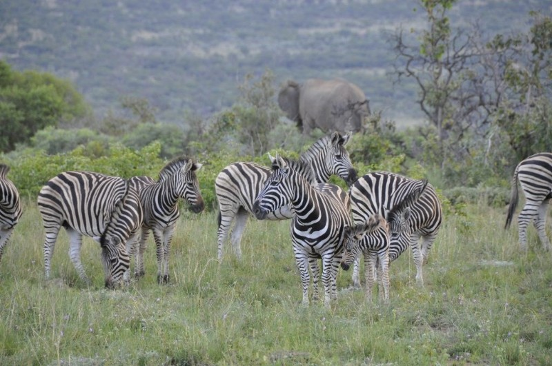 mhondoro-game-lodge-wildlife-zebra-1