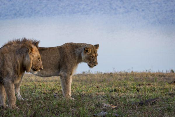 LION-600x400