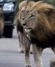 jock safari lodge news lions born in 2008