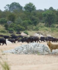 Lion_Buffalo in Timbavati