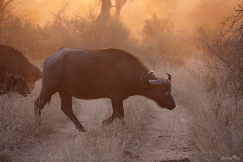 Game-viewing-buffalo-Umlani-Bushcamp-Timbavati-Private-Nature-Reserve-Kruger-National-Park