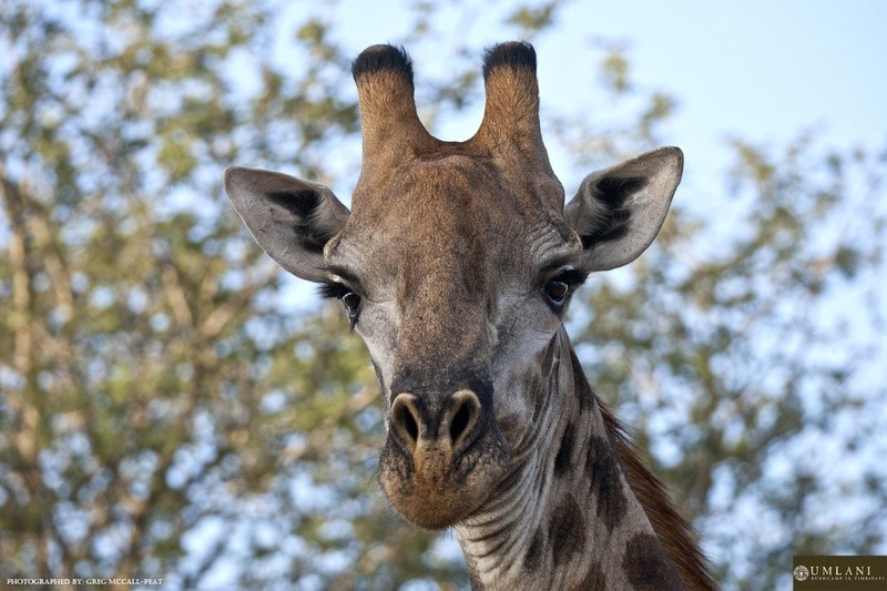 Game-viewing-giraffe-Umlani-Bushcamp-Timbavati-Private-Nature-Reserve-Kruger-National-Park