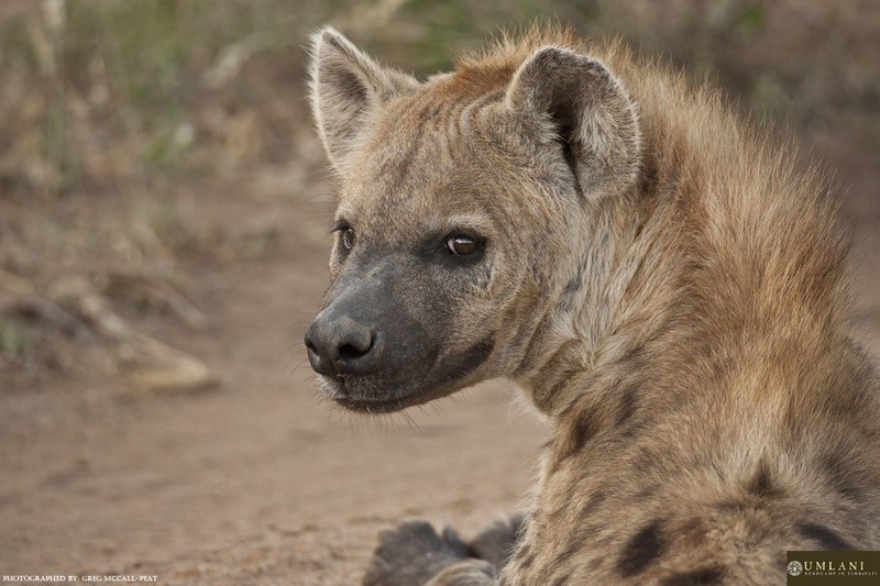 Game-viewing-hyena-Umlani-Bushcamp-Timbavati-Private-Nature-Reserve-Kruger-National-Park