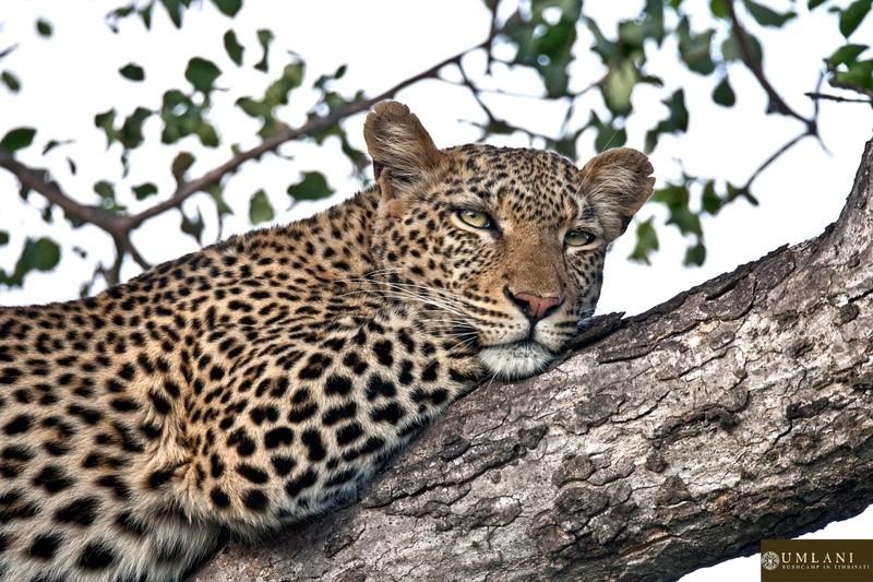 Leopard-Umlani-Bushcamp-Timbavati-Game-Reserve
