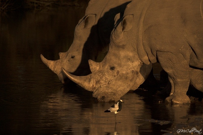 rhino-Umlani-Bushcamp