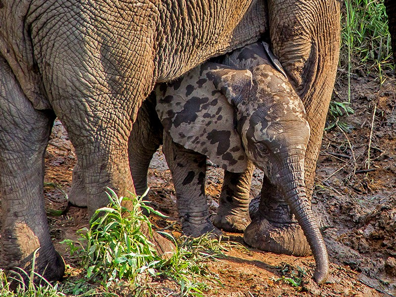 thula-thula-safari-medium-baby-elephant-1