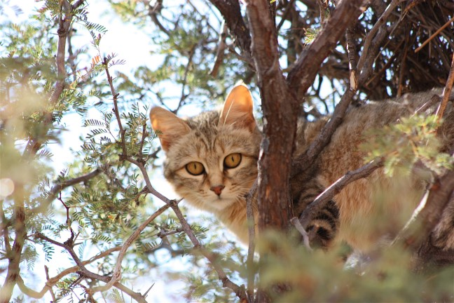 African-Wild-Cat-1