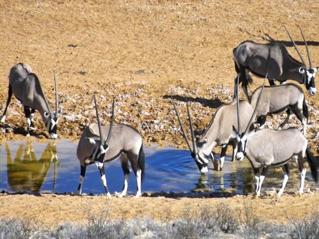Gemsbok-at-the-waterhole-1
