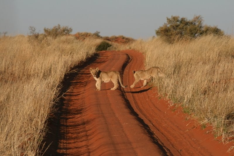 game-viewing-at-xaus-lodge-lion-cubs-in-road