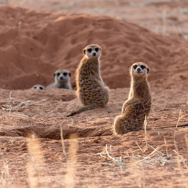 game-viewing-at-xaus-lodge-meercat