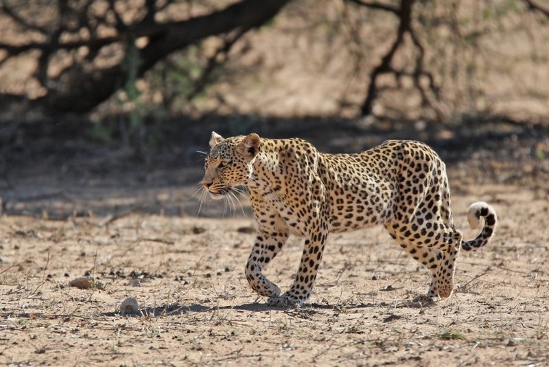 wildlife-xaus-lodge-Kgalagadi-leopard