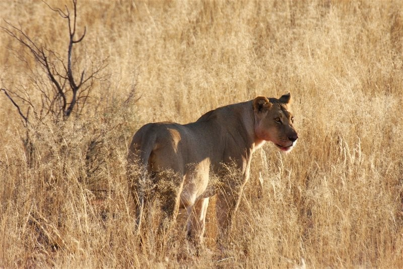 wildlife-xaus-lodge-Kgalagadi-lion