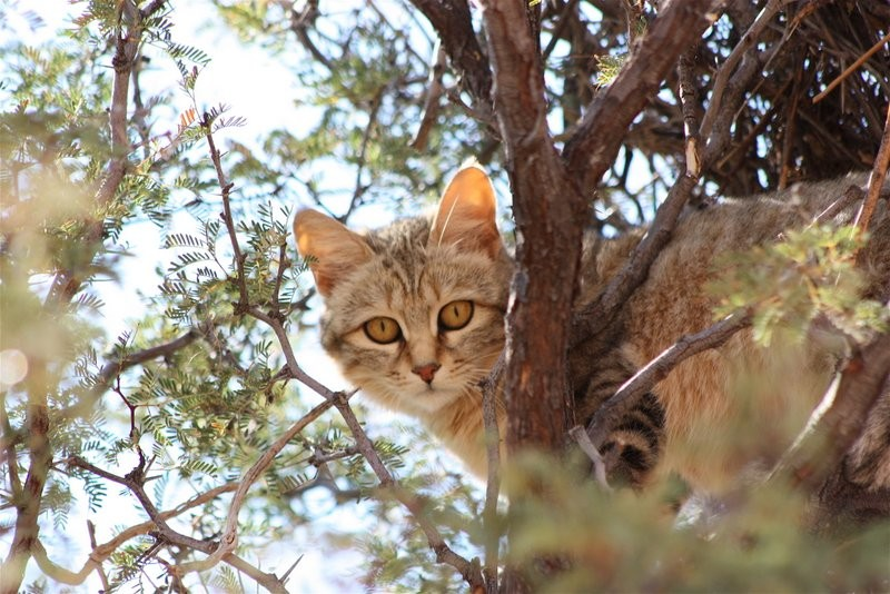 wildlife-xaus-lodge-Kgalagadi-wild-cat