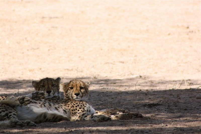 wildlife-xauslodge-Kgalagadi-cheetah