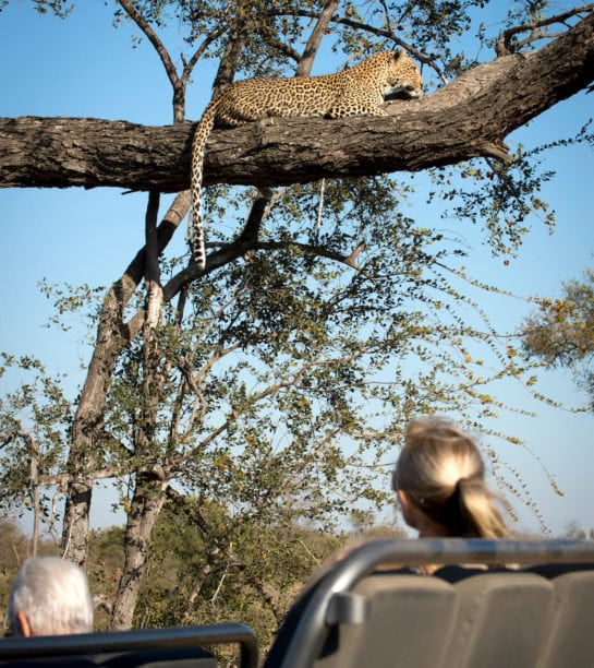 RockFig-Safari-Lodge_Game-Drive-with-Leopard1