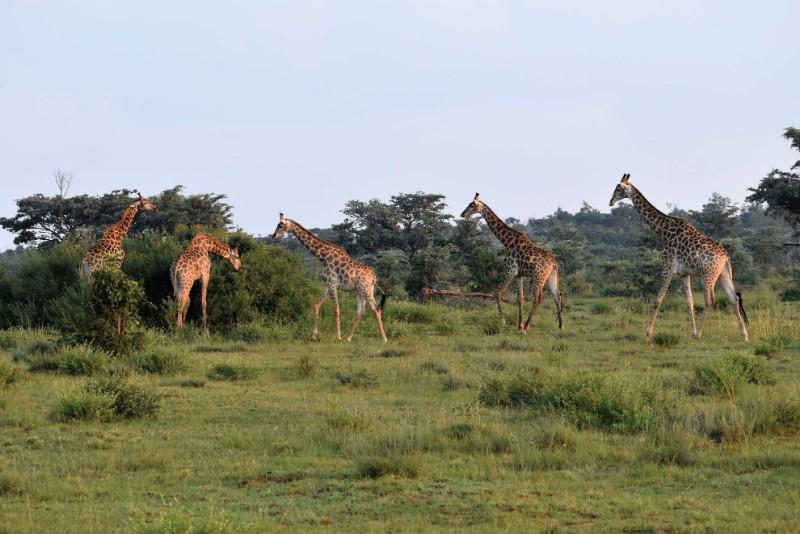 JamilaLodge_Giraffes