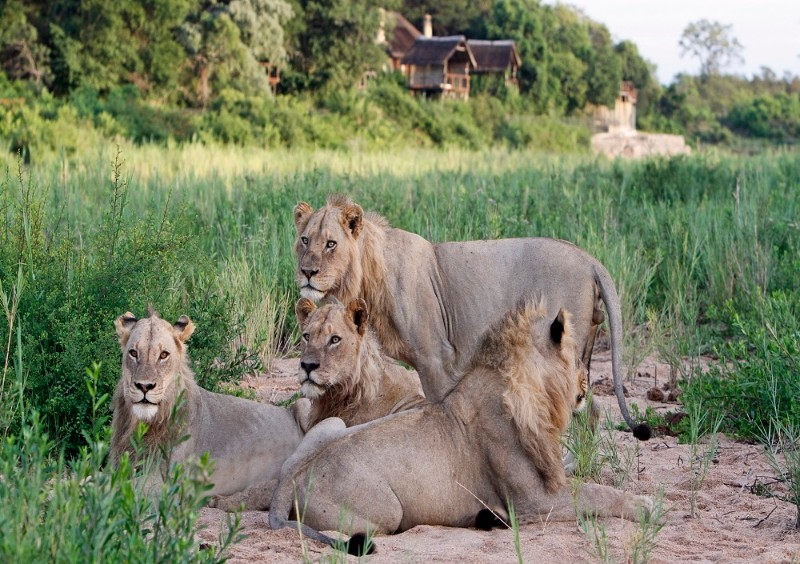 male_lions_in_front_of_the_lodge_web