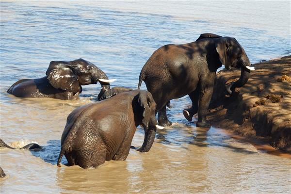 elephant-swim-600-x-400-2