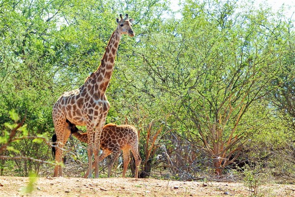 giraffe-with-calf-1