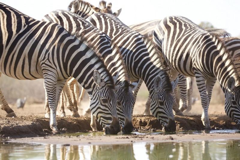 kwenga-safari-lodge-zebra-at-waterhole