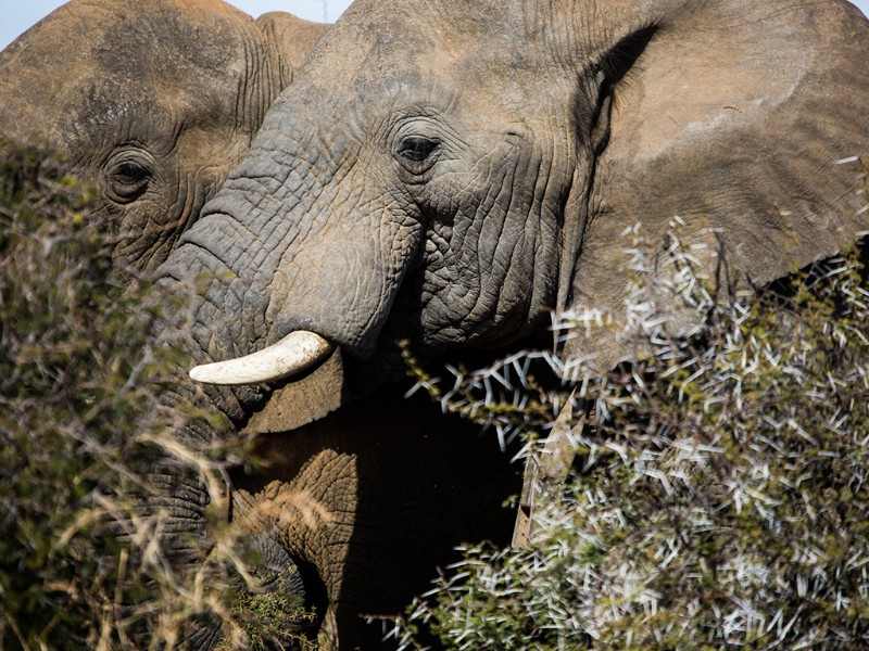 safari-plains-mabula-elephant