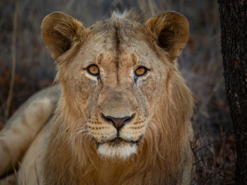 safari-plains-mabula-lion