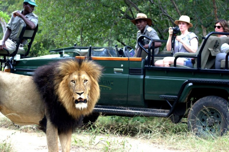 MALE-LION-IN-FRONT-OF-VEHICLE