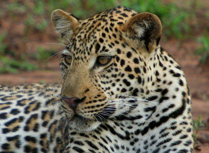 leopard-by-sav