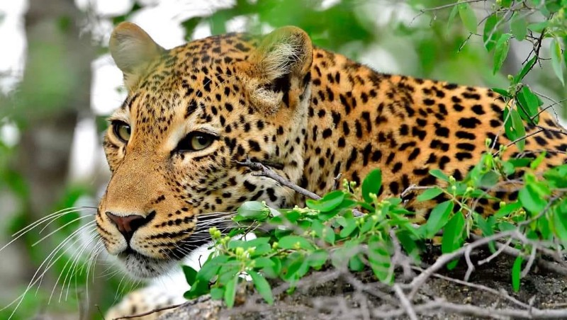 leopard-out-the-corner-of-my-eye
