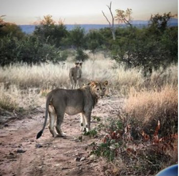 sub-adult-lions-taken-by-a-guest