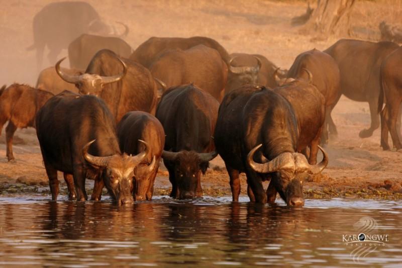 buffalos_at_karongwe-Large-Medium-1