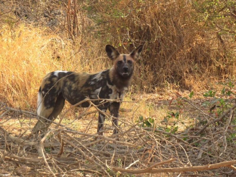 doggies_at_karongwe-Large-Medium-1