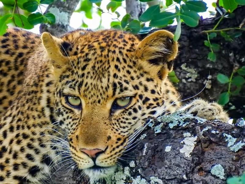 leopard_-_nathan-Large-Medium