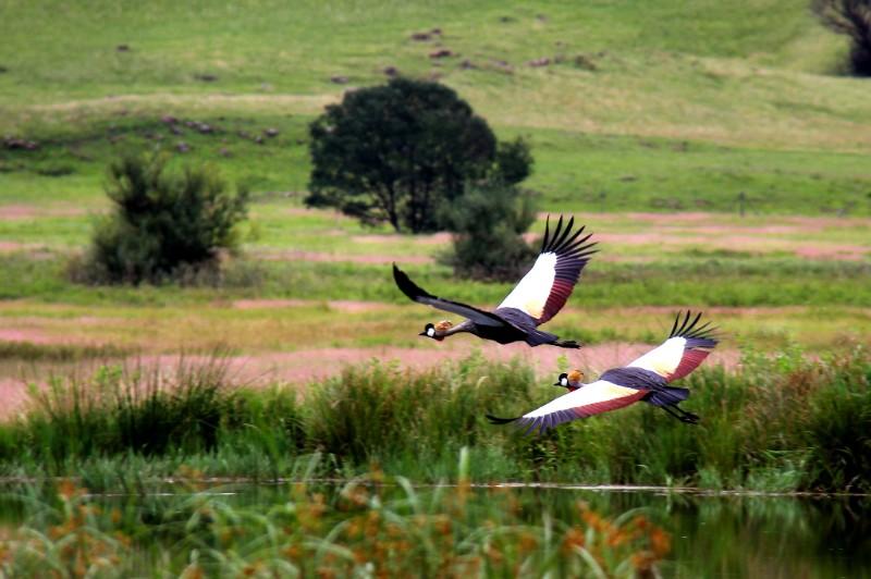 Crowned-Cranes-1