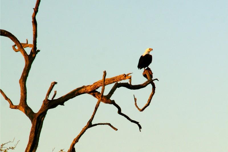 Fish-Eagle-Calling